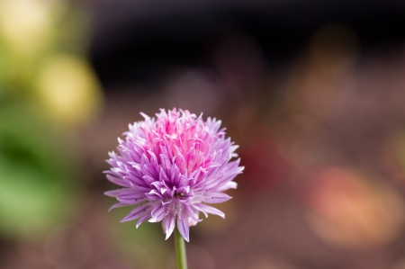 Single chive flower with blurred bokeh background