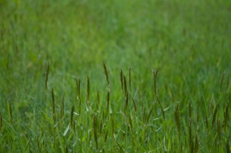 Meadow grasses