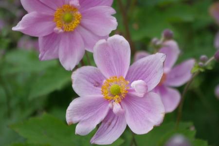 Japanese Aemone flowers Stock Photo - 21925014