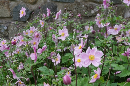 Japanese Anemones by stone wall Stock Photo - 21925018
