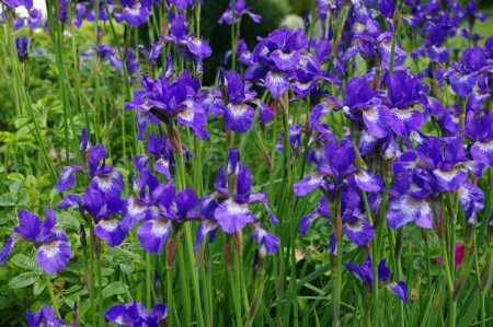 reticulata iris: Group of purple Iris Reticulata Stock Photo