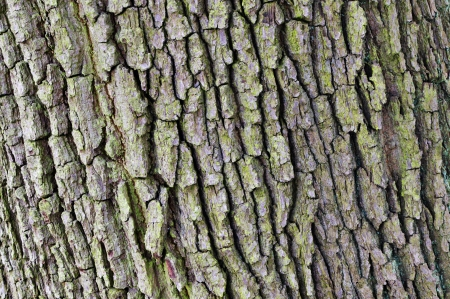 Oak bark texture Stock Photo