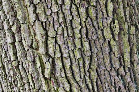 Oak bark texture Stock Photo