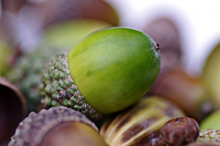 Single green acorn on pile of brown older acorns, selective focus