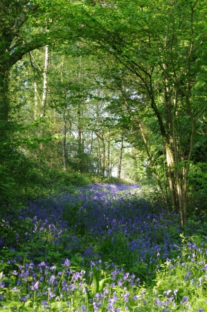 bluebells flowers under arching branches