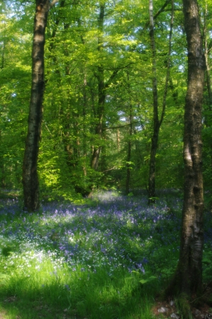 English bluebells in woodland Stock Photo