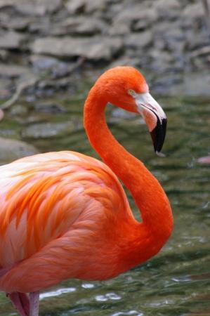 waders: Flamingo Rosy Foto de archivo