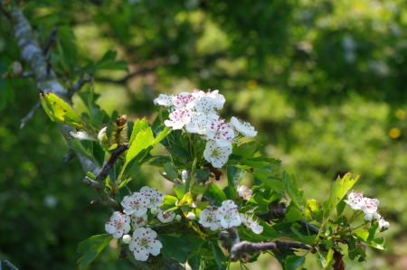 Sprig of May or Hawthorn Blossom Stock Photo
