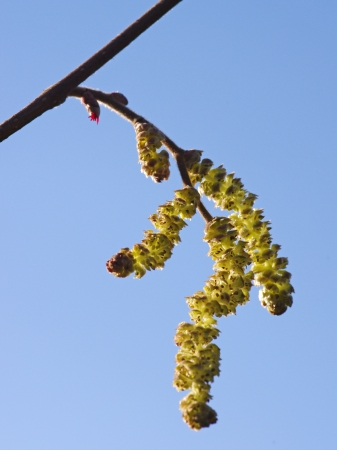 catkins: Hazel catkins, male and female Stock Photo