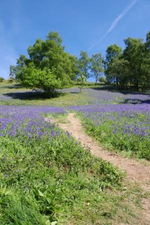 Dusty path up hillside full of bluebells