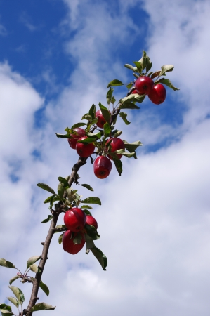 Red apples on branch against sky