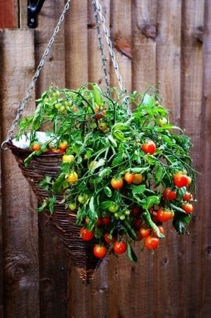hanging basket: Cherry tomatoes in hanging basket