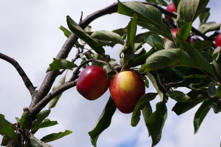 Cider apples on bough