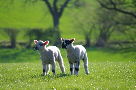 Two lambs in field photo
