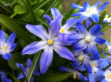 Blue Chionodoxa flowers in spring. Close up.
