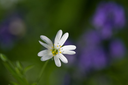 Greater stitchwort and bluebell bokeh
