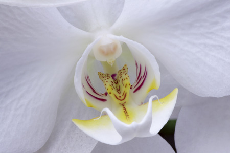 Close up of centre of white moth orchid, Phalaenopsis
