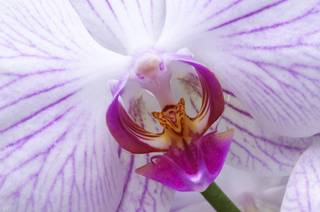 Close up of centre of pink veined moth orchid, Phalaenopsis Stock Photo