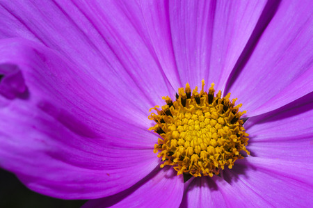 Pink cosmos flower close up, shallow focus Stock Photo