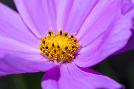 shallow: Pink cosmos flower close up, shallow focus Stock Photo