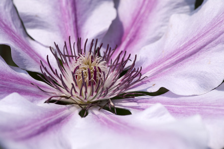 clematis flower: Pink and white Clematis flower close up