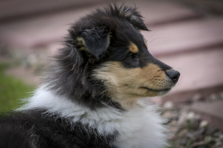 facing right: Profile of rough collie puppy