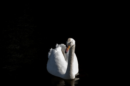 White mute swan on the water against black background, low with space around