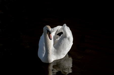mute swan: White mute swan on the water against black background Stock Photo