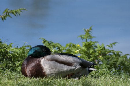 dozing: Mallard drake dozing at waters edge
