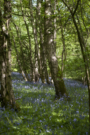 HDR image of English bluebells and silver birches