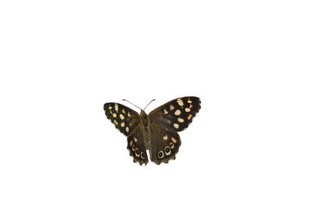 speckled wood: Speckled wood butterfly on white Stock Photo