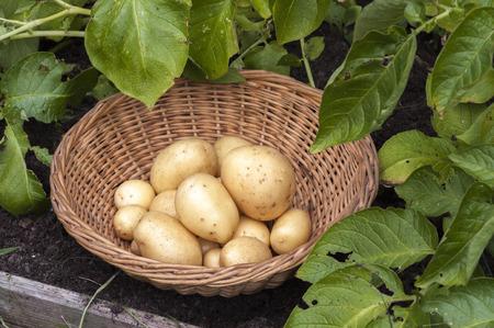 Basket of Casablanca first early potatoes amongst growing potato plants.