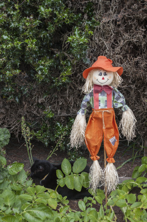 Scarecrow and black cat in potato patch. Stock Photo