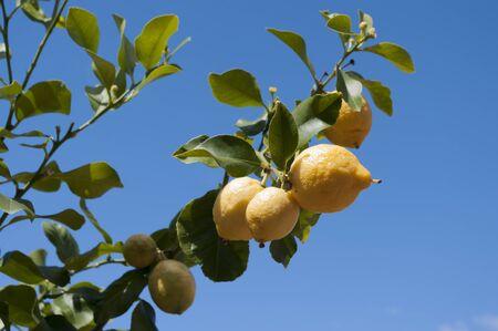 Lemons growing on the branch against blue sky.