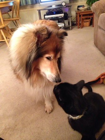 touching noses: Rough collie dog and black cat touching noses indoors.