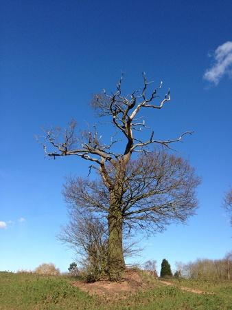 sunlight sky: Stags head oak in winter. Sunny. Blue sky. Stock Photo