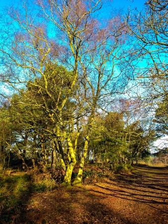 Winter trees on a crisp morning on Lickey Hills near Birmingham United Kingdom