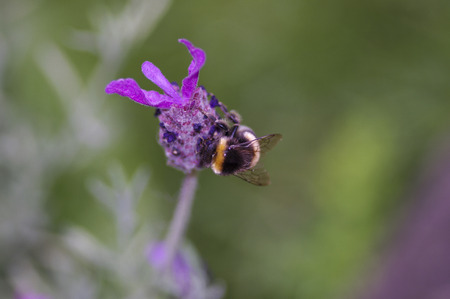 bumble bee: Bumble bee on French lavender