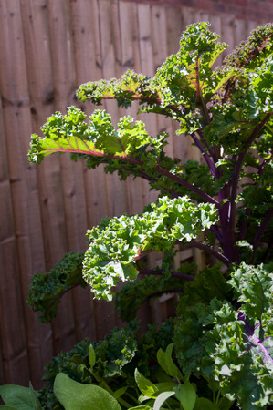 Red kale with curly leaves. Stock Photo