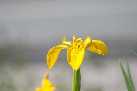Iris pseudacorus or yellow flag iris, Europes wild iris of the waterside. Stock Photo