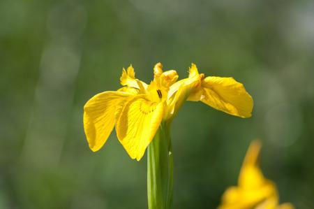 waterside: Iris pseudacorus or yellow flag iris, Europes wild iris of the waterside. Stock Photo