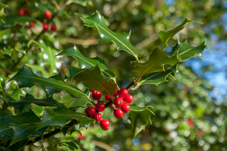 Holly with red berries growing on tree. Ilex. Stock Photo