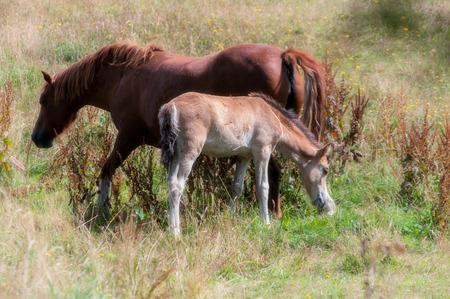 yegua: suave imagen de una yegua y el potro. Foto de archivo