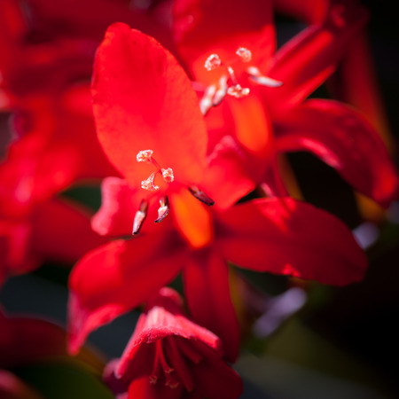 Close up of Crocosmia Lucifer showing flower parts. Stock Photo
