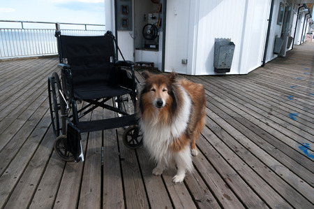 dog wheelchair: Rough collie dog with wheelchair on seaside pier. Stock Photo