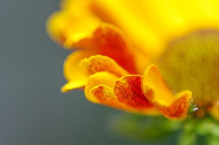 Close up of red orange yellow helenium flower petals.