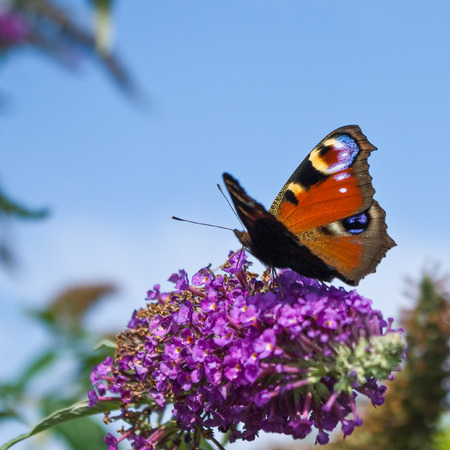 Peacock butterfly on buddleia looking up at clear blue sky