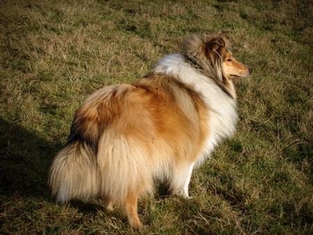 Rough collie, Elsamos moonrain, showing thick coat.