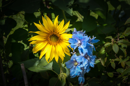 complementary: Complementary color partnership of bright yellow sunflower and light blue delphinium. Stock Photo