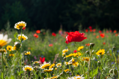 Poppy growing amongst meadow flowers with other poppies as bokeh in the distance.